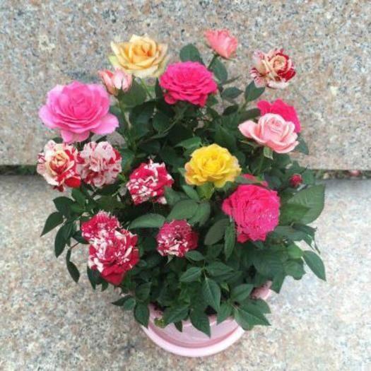 无锡锡山区玫瑰苗 玫瑰花苗 20多种混合品种发货 颜色不重复