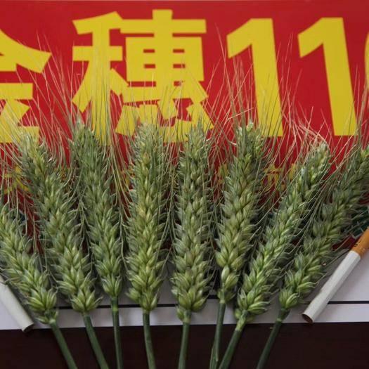 商丘民權縣小麥種子 金穗116