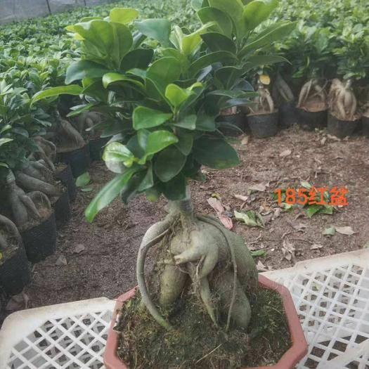 漳州龙海市 榕树