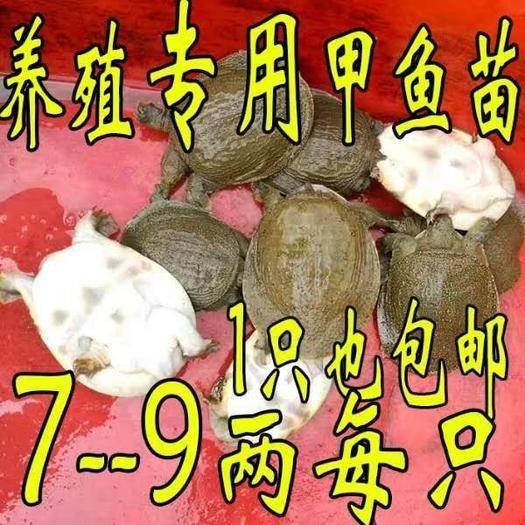 嘉兴海盐县生态甲鱼苗 放养专用甲鱼7-9两13元一只包邮包活。一只也包邮。放生小甲