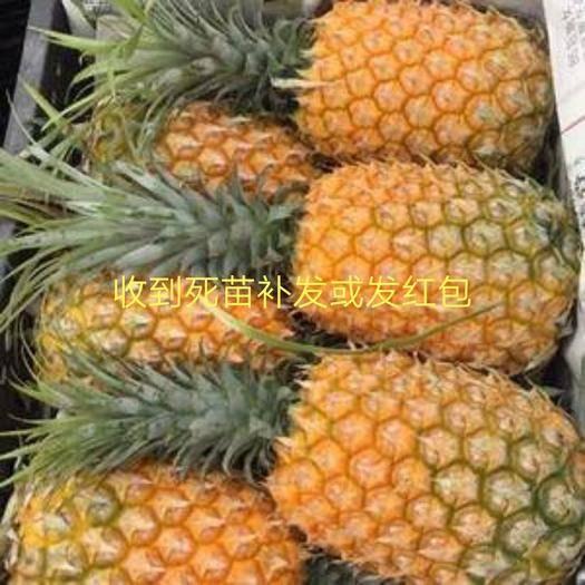 钦州灵山县皇后菠萝苗 金砖凤梨苗