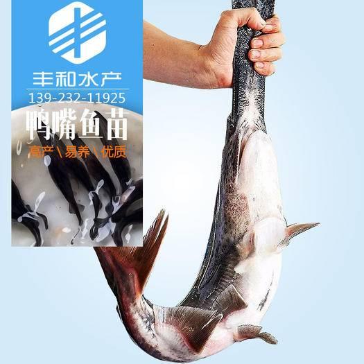 佛山 鴨嘴鱘魚苗淡水魚苗批發 鑰匙鱘魚苗