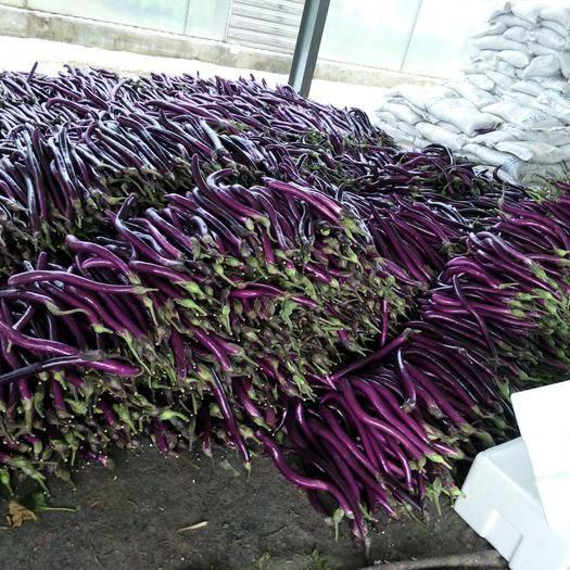 兰陵县紫长茄 40cm以上 长茄