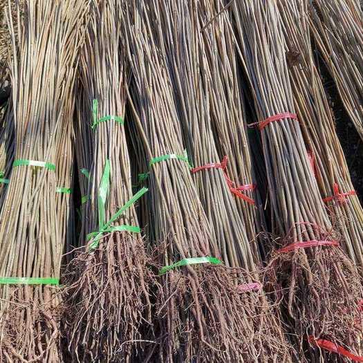 泰安岱岳区 红油香椿苗