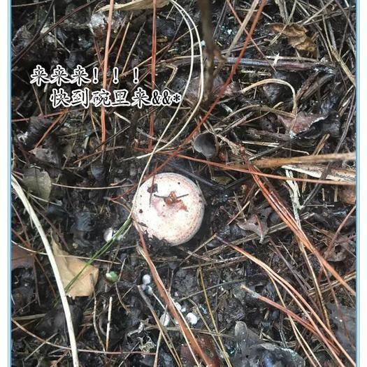 黔南三都水族自治县 松树菌(菇)
