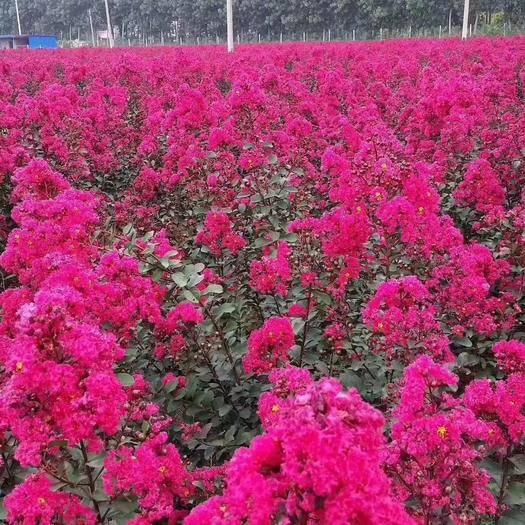 西安臨潼區天鵝絨紫薇 美國三紅絨紫微