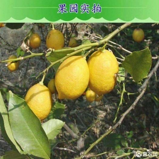 平邑县 香水柠檬苗嫁接香水檬阳台室内盆栽地栽水果树苗南北方均可种植