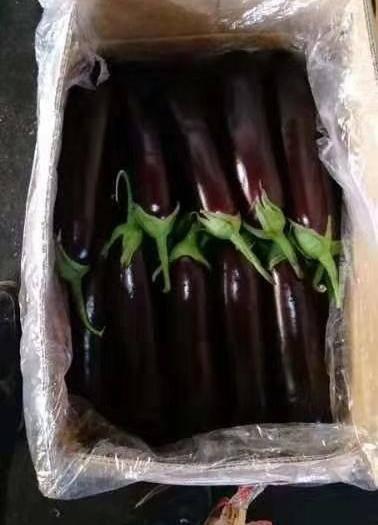 凌源市 紫长茄子,货源充足,农户直供,一手货源