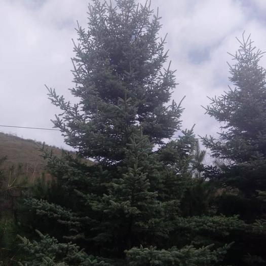 蘭州 34567米的云杉有貨