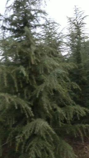 駐馬店汝南縣 雪松  雪松小苗 一米到八米雪松 干直樹形好 價格美麗