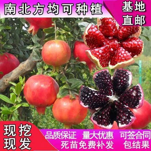 临沂平邑县黑美人石榴苗 红皮黑籽   果大 黑玛瑙石榴优质苗 可免费提供种植技术