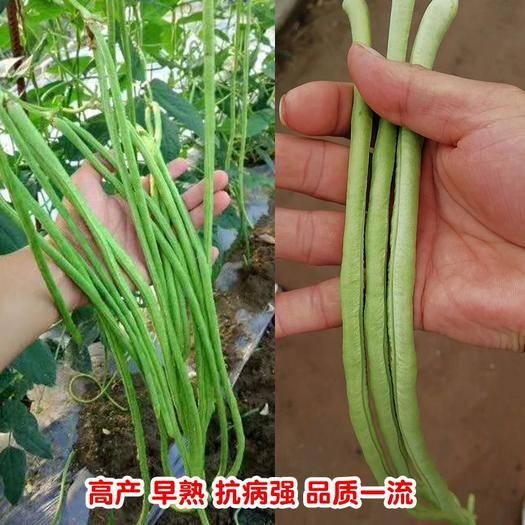 郑州 高档翠绿豆角种子春秋可种产量高结荚密品质好,无鼠尾厂家直销