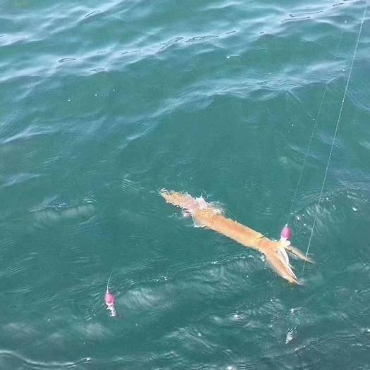 東山縣 軟體海鮮,手釣大魷魚,稱重,包郵