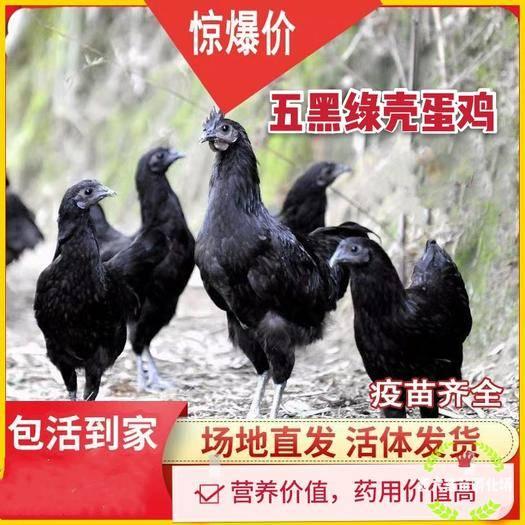 南宁西乡塘区 五黑–绿壳种蛋鸡苗,孵化场直销,疫苗齐全