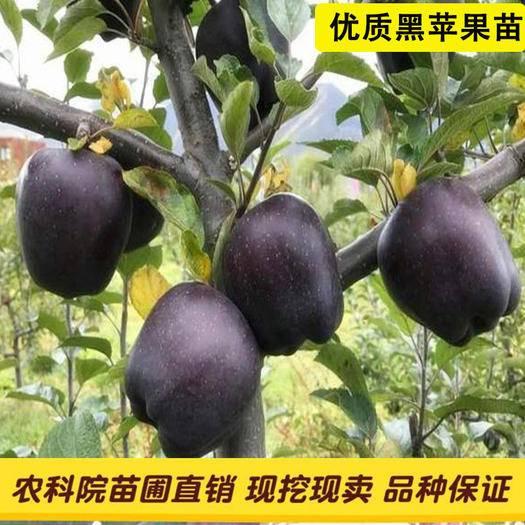 平邑縣 正宗嫁接黑鉆蘋果樹苗,可簽約種植,可視頻看貨,死苗補發