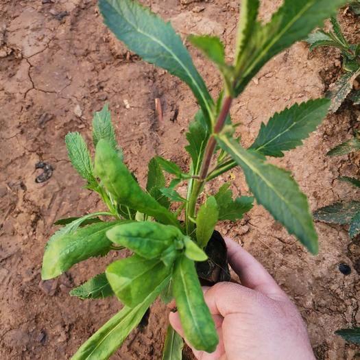 潍坊青州市马鞭草种子 柳叶马鞭草  观赏植物 绿化 地被