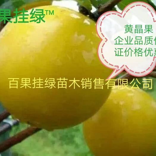 钦州灵山县 黄晶果苗四季黄金果树苗 盆栽地栽雅亚美果南方种植加蜜蛋黄果