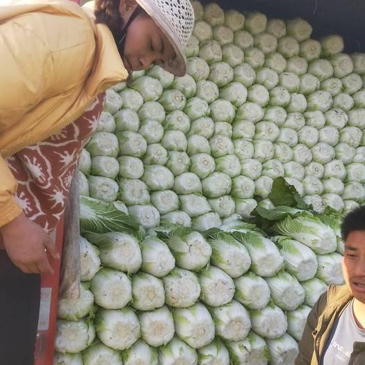 临沂兰陵县 兰陵春季黄心菜大量上市了,
