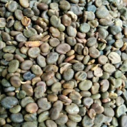 定西陇西县黄芪种苗 黄芪种籽