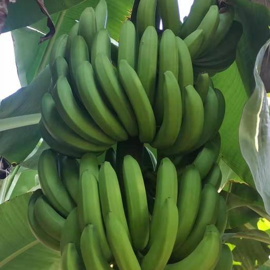 百色田东县 广西自然成熟威廉斯香蕉 一件代发