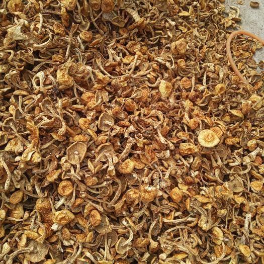 承德平泉市 滑子菇,品其味,观其色,决对的好菇