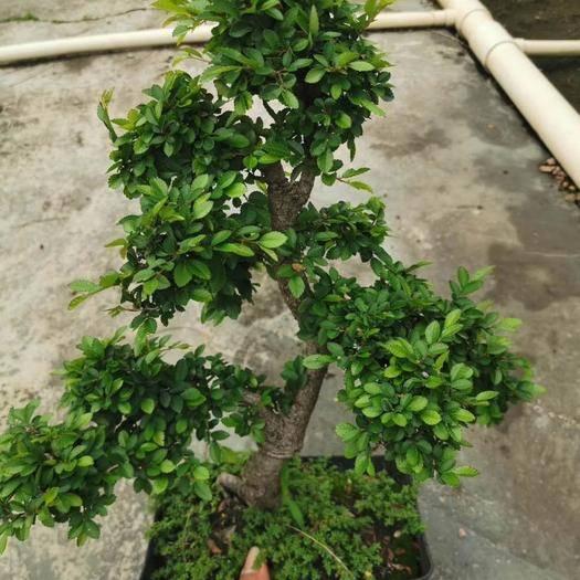 湛江霞山區造型榆樹 造型小葉榆樹盆景