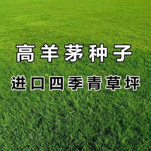 宿迁沭阳县 草坪种子高羊茅种子 进口高产草籽 护坡绿化抗旱耐寒多年生
