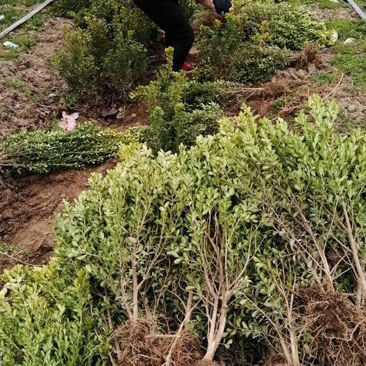 西安周至縣高山黃楊 大量出售高山黃秧