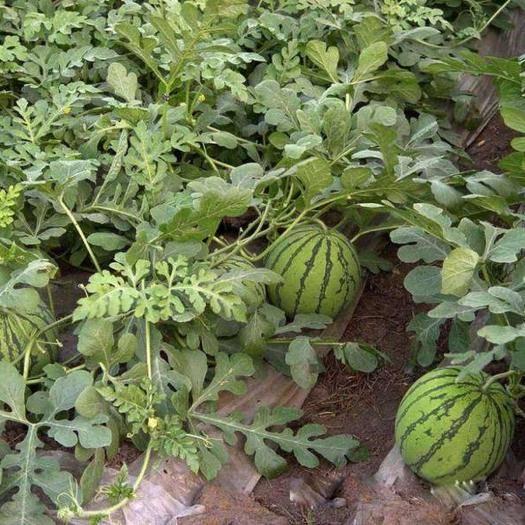 济宁金乡县 优质西瓜苗 保存活超甜8424 各种西瓜种子