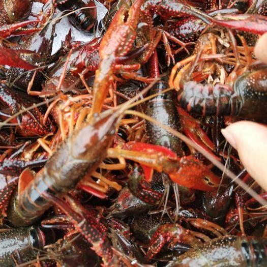 潜江潜江市 清水小龙虾3-4钱小红头肉质饱满,干净一手货源
