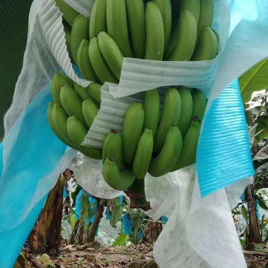 红河河口瑶族自治县 云南河口山地自然熟香蕉