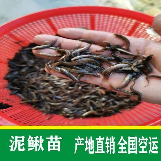 广州花都区 泥鳅苗+台湾泥鳅苗批发+湖南泥鳅苗低价批发
