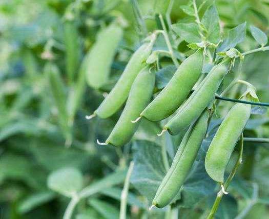 襄樊 湖北襄州區豌豆種植基地