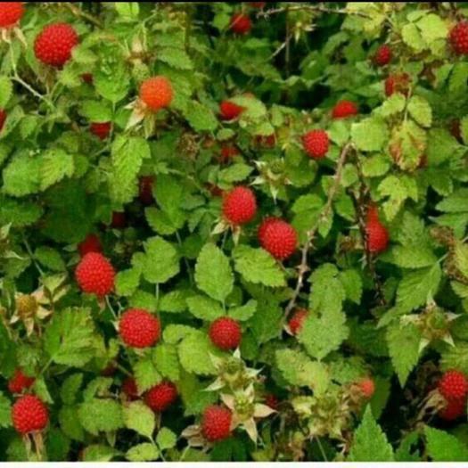 钦州灵山县覆盆子种苗 覆盆子(野草莓)苗,产量高,儿时的记忆,老少皆宜喜欢