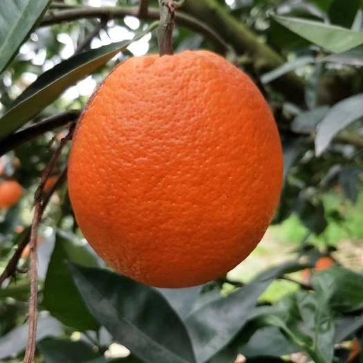 重慶奉節奉節臍橙 果園自種   60-65小果  24小時發貨  包郵孕婦水果