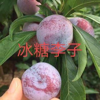 冰糖李子树苗,正宗品种,基地直销。
