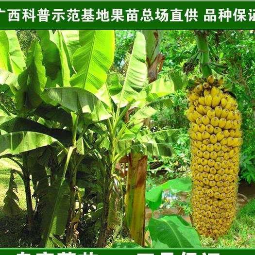 灵山县 广西小米蕉。真甜七成熟。发货