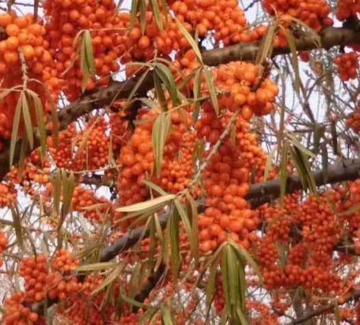 牡丹江海林市 現貨沙棘凍果,量大,有大片種植基地,可長期供貨