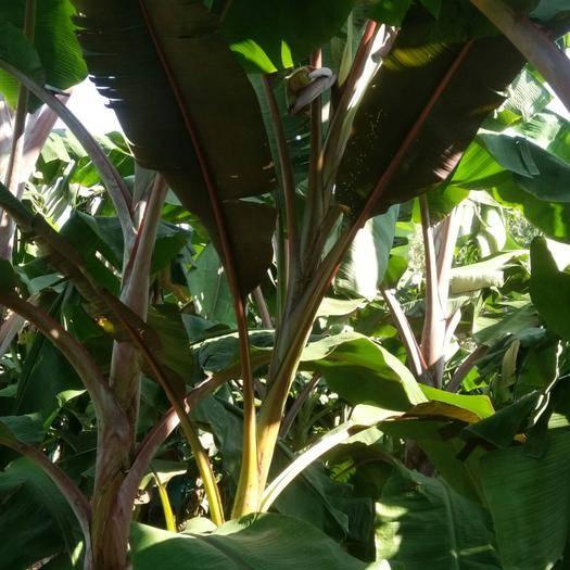 马山县红蕉 八成熟