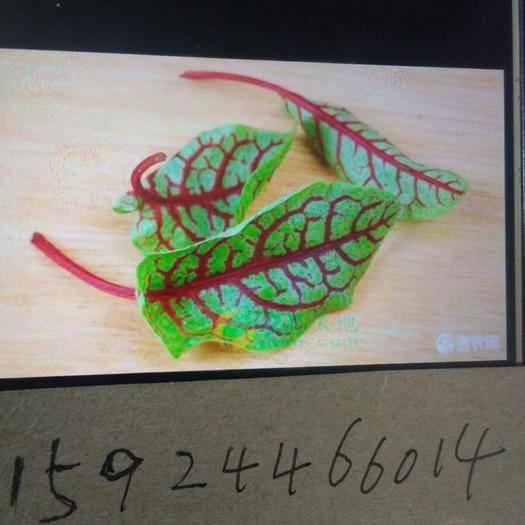 赤峰喀喇沁旗三色堇 酸模,三色菫產地直銷