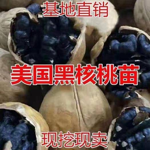 平邑县美国黑核桃苗 美国黑核桃树苗,适合南北方种植,基地直销三包发货。