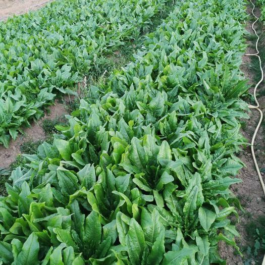 玉溪红塔区 供应油麦菜、生菜、娃娃菜