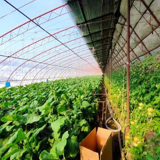台安县 农产品绿茄子产地供应常年种植产量保证