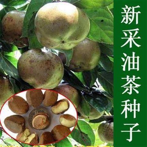 宿迁沭阳县 新采油茶种子大果红花油茶种子白花油茶 茶花山茶 树种子油茶树