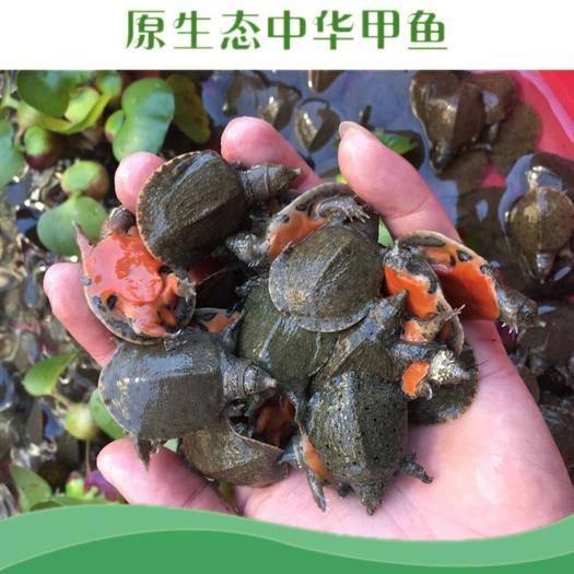 抚州黎川县生态甲鱼苗 6-12个月