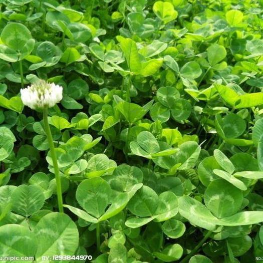 徐州新沂市三叶草种子 红花草种子