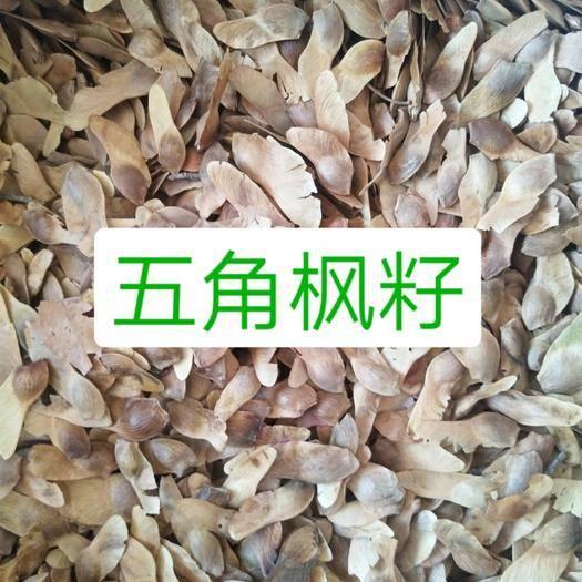 保定安国市五角枫种子 批发大货五角枫籽