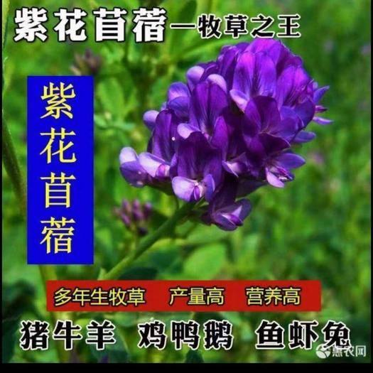 宿迁沭阳县苜蓿草种子 紫色苜蓿牛羊吃的专用牧草,营养价值富含多种维生素