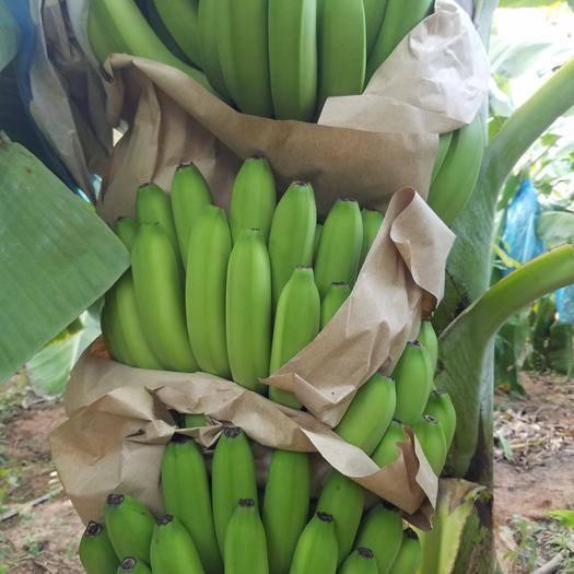 乐东黎族自治县 海南香蕉