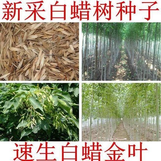 沭阳县 白蜡种子 对节金叶白蜡种籽 小叶大叶树籽速生白蜡种子白蜡树种